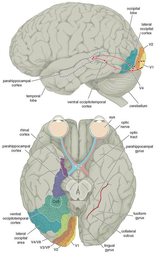NeuroanatomyTutorial - MRC CBU Imaging Wiki  NeuroanatomyTut...